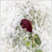Роза на окне :: Елена Баскакова