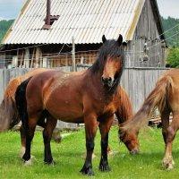 Гуляют кони по селу :: Сергей Чиняев