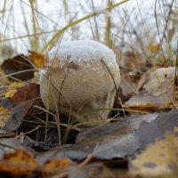 Зимний гриб :: Дмитрий Н