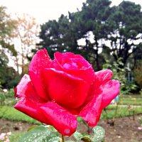 красавица розочка после дождя :: Антонина Владимировна