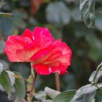 Октябрь,городские розы... :: Тамара (st.tamara)