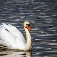 Лебедь :: олег