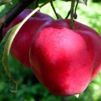 Яблочки наливные :: Ольга