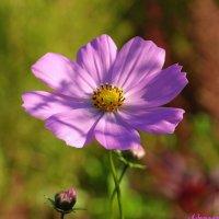 Ещё цветет космея.. :: Андрей Заломленков