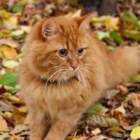 Осенний кот :: Краснов  Ю Ф