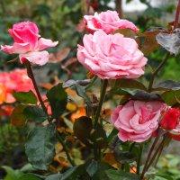 Благоухают осенние розы... :: Тамара (st.tamara)