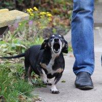 Собака-Песню запевака! :: Дария Хаус