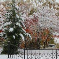 Ель и рябины под первым снегом. :: Наталья Золотых-Сибирская