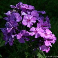 цветы и запахи детства :: Олег Лукьянов