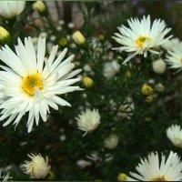 Горький запах хризантем :: °•●Елена●•° Аникина♀