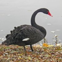 Чёрный лебедь :: Константин Ординарцев