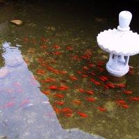 Золотые рыбки :: Ирина Арефьева