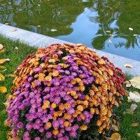 Хризантемы :: татьяна петракова
