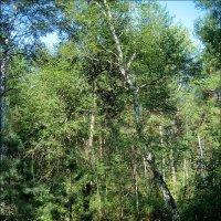 Молодой лес :: Татьяна Пальчикова