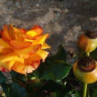 Октябрьская роза :: Нина Корешкова