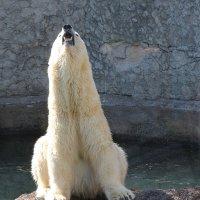 белый медведь :: Laryan1