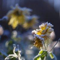 цветок :: сергей швед