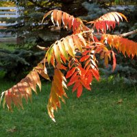 Осенние листья сумаха :: Татьяна Смоляниченко