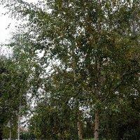 Береза зеленые косы, развесила с тонких ветвей ... :: Лариса Корженевская