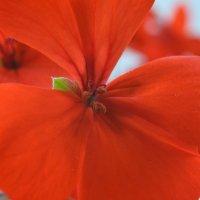 Домашний цветок. :: Aлександр **