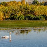 а белый лебедь на пруду..... :: олеся тронько