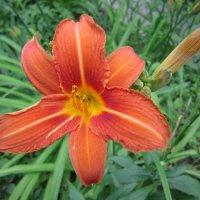 Оранжевый цветок :: Дмитрий Никитин