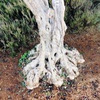 Оливковое дерево :: Anna Sokolovsky