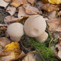 грибы :: Александр Лепинский