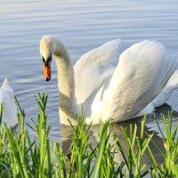 Есть птица красивая очень на свете .... :: Маргарита ( Марта ) Дрожжина