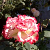 роза красавица :: Антонина Владимировна