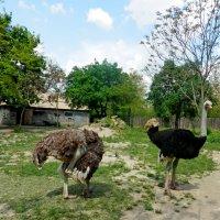 страусиная семья :: Люша