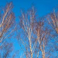 Зимние берёзы. :: Андрий Майковский