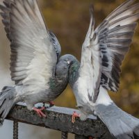 любовь и голуби :: Наталия Ремизова