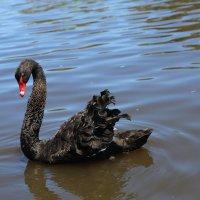 Лебедь :: Антонина