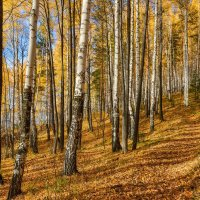 Солнечный лес :: vladimir Bormotov
