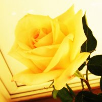 Желтая роза на белом фоне :: татьяна