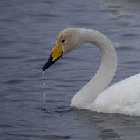 Как лебеди хороши, в водах зимнего залива 4 :: Сергей Жуков