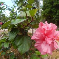 Розовый гибискус :: Лариса (Phinikia) Двойникова