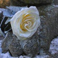 Цветок любви с улыбкой Розы..... :: Tatiana Markova