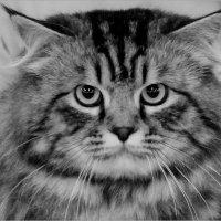 Строгий кот. :: Сергей Савич.