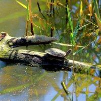 Мне повстречалась черепаха :: Николай Волков