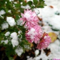 Накрывает снег последние цветы.. :: Андрей Заломленков