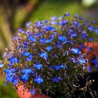 Голубые цветы :: Сергей Козлов