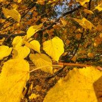 Золотые осенние листья :: Сергей Тагиров