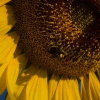Лето, подсолнух шмель, небо голубое,краски лета :: Алена Булдина