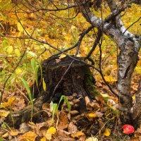 Мухоморы, осенний лес, грибы, пенек, золотая осень, осенние краски :: Алена Булдина