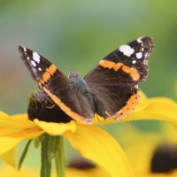 Бабочка и эхинацея :: И.В.К. ))