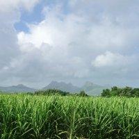Плантация сахарного тростника :: Ольга Васильева