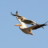 К нам прилетели пеликаны :: Nikolay Volkov