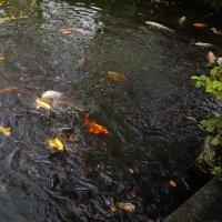 Рыбы и голубь :: Ilona An
